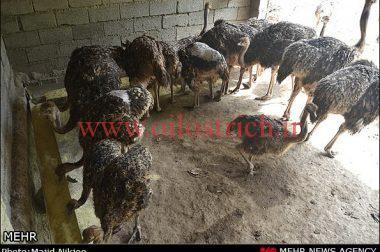 رعایت و تنظیم فرمول غذایی شترمرغ
