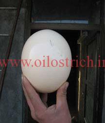 اثرات استفاده از ال کارنیتین و منیزیم در میزان تولید تخم و قدرت باروری در شترمرغ